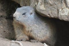 alpin marmot Royaltyfria Bilder