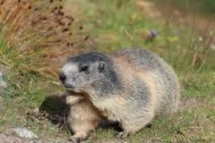 alpin marmot Fotografering för Bildbyråer