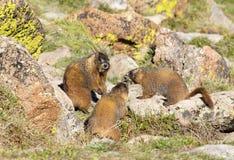 alpin marmot Arkivfoton
