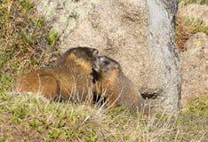 alpin marmot Arkivfoto