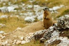 Alpin murmeldjur Royaltyfri Fotografi