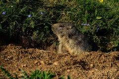 Alpin murmeldjur, grossglockner Arkivfoto