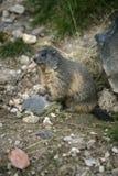 Alpin murmeldjur, Marmotamarmota Arkivbilder