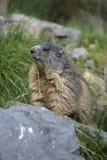 Alpin murmeldjur, Marmotamarmota Royaltyfri Foto