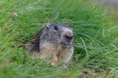 Alpin murmeldjur (Marmotamarmota) i de franska fjällängarna Fotografering för Bildbyråer