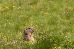 Alpin murmeldjur på äng Royaltyfri Fotografi