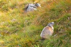 Alpin murmeldjur på grön äng på Grossglockner Arkivbild