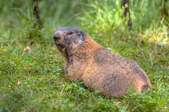 Alpin murmeldjur som tillbaka ser Arkivbilder