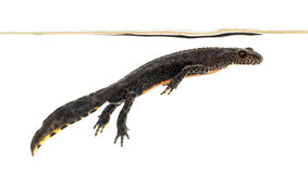 Alpin Newt som ytbehandlar, Ichthyosaura alpestris Arkivbilder