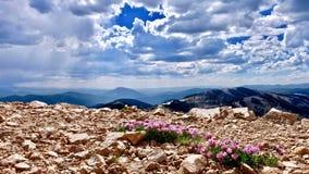 Alpin rosa växt av släktet Trifolium blommar på berg Trifoliumalpinum eller bergväxt av släktet Trifolium på monarkpasserandet nä Royaltyfri Bild