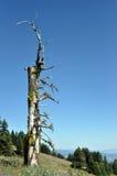 alpin sentinal Royaltyfri Fotografi