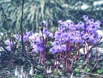 alpin snowbellsoldanella för alpina Den av första blomningar Arkivbild