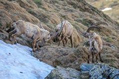 Alpin stenbock - Caprastenbock, fjällängar, Österrike arkivbild
