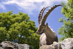 Alpin stenbock för Closeup Arkivbild