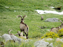Alpin stenbock i den lösa naturen Fotografering för Bildbyråer
