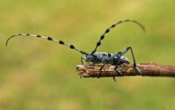alpina甲虫保护的rosalia 免版税库存图片