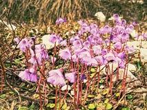Alpina alpestre de Snowbell - de Soldanella El que está de los primeros flores foto de archivo