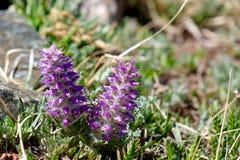 Alpina alpino dei fiori o del Besseya di Kittentail Immagine Stock Libera da Diritti