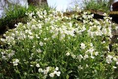 Alpina bianco del Arabis Fotografie Stock Libere da Diritti