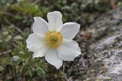 Alpina bianco del Pulsatilla Fotografia Stock
