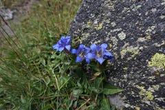 alpina blommor Arkivfoto