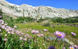 Alpina blommor framme av medicinpilbågebergen av Wyoming Arkivbild