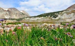 Alpina blommor framme av medicinpilbågebergen av Wyoming Arkivfoton