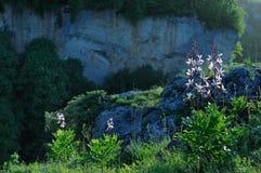 Alpina blommor på en bakgrund av vaggar och berg Royaltyfri Fotografi