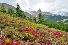 Alpina blommor på förgrunden och kanadensiska steniga berg på bakgrunden Icefields gångallé mellan Banff och jaspisen Arkivfoton