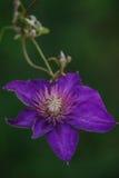 alpina blu della clematide Fotografia Stock