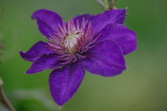 alpina blu della clematide Fotografie Stock