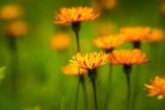 Alpina Crepis - абстрактная предпосылка высокогорных цветков Стоковая Фотография