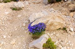 Alpina da campânula, Abruzzo, Itália Fotografia de Stock Royalty Free