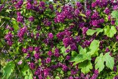 alpina de clématite pourpre Photo stock