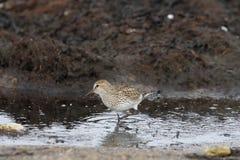 Alpina del Calidris del Dunlin, un piovanello di medie dimensioni e shorebird che cercano l'alimento lungo un litorale paludoso Immagini Stock