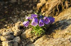 Alpina della campanula Fotografia Stock Libera da Diritti