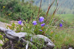 Alpina della campanula Fotografie Stock Libere da Diritti