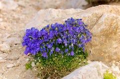 Alpina della campanula, Abruzzo, Italia Fotografia Stock Libera da Diritti