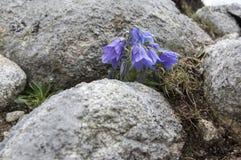 Alpina della campanula, bellflower perenne in fioritura nell'erba, alte montagne di Tatra Fotografie Stock Libere da Diritti