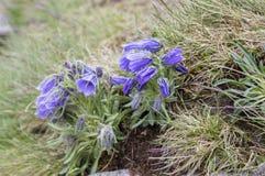 Alpina della campanula, bellflower perenne in fioritura nell'erba, alte montagne di Tatra, Slovacchia Immagine Stock Libera da Diritti