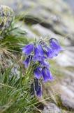 Alpina della campanula, bellflower perenne in fioritura nell'erba, alte montagne di Tatra, Slovacchia Immagini Stock