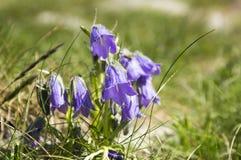 Alpina della campanula, bellflower perenne in fioritura nell'erba, alte montagne di Tatra, Slovacchia Fotografie Stock Libere da Diritti