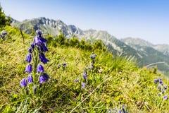 Alpina della campanula con le montagne nei precedenti Immagini Stock