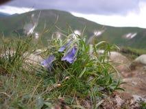 Alpina della campanula nell'ucranino Carpathians delle montagne Immagine Stock Libera da Diritti