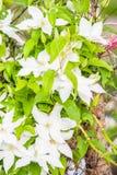 alpina della clematide Fotografia Stock