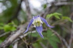 Alpina della clematide in fioritura nelle alpi italiane delle montagne Fotografie Stock