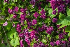 alpina della clematide porpora Fotografie Stock