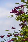 alpina della clematide porpora Fotografie Stock Libere da Diritti