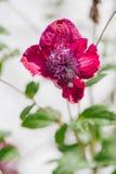 alpina della clematide porpora Fotografia Stock Libera da Diritti