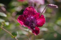 alpina della clematide porpora Fotografia Stock